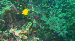 Long-nosed butterflyfish - stock footage