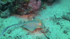 Blue-spotted Ray Stock Footage