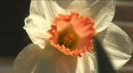 Daffodil super tight Stock Footage