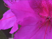 Stock Video Footage of azaleas in the breeze