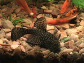Cat-fish Stock Footage