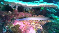 Trumpetfish Stock Footage