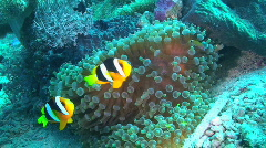 Anemonefish and Sea Anemone  Stock Footage