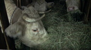 Cow in a barn Stock Footage
