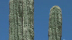 Giant cactus. smooth pan down - stock footage