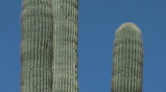 Stock Video Footage of Giant cactus. smooth pan down