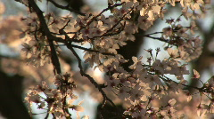 Stock Video Footage of cherryblossoms 01
