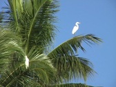 Stock Video Footage of Egret in palm tree 1
