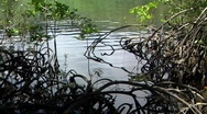 Stock Video Footage of Mangrove pan up to river