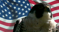 Close up of Peregrine Falcon Blue background Stock Footage