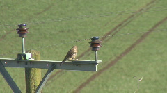 Kestrel on power pole defecates Stock Footage