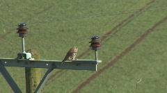 Kestrel on power pole Stock Footage