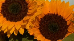 sunflowers zoom out - stock footage