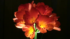 Stock Video Footage of Beautiful Flower Clivia