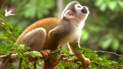 Squirrel monkey (Saimiri sciureus) in the wild Stock Footage