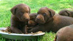 Litter Of Curious Puppies Stock Footage