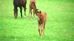 Foal Walking In Pasture Stock Footage