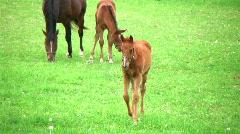 Foal Walking In Pasture - stock footage