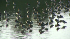 Waders on estuary Stock Footage