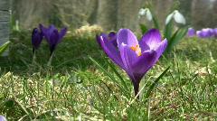 Purple crocus Stock Footage