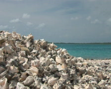 PAL: Conch shells Stock Footage