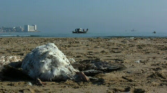 Dead seagull on the beach Stock Footage