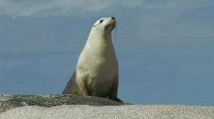 Female Sea Lion Stock Footage