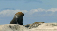 Male / Bull Sea Lion Stock Footage