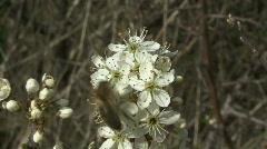 Bee on Blackthorn flowers Stock Footage