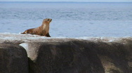 Sea Lion Pup Stock Footage