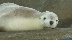 Female Sea Lion Resting Stock Footage