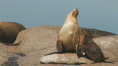 Mother and Pup (Sealions) Stock Footage