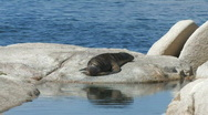 Sea Lion Pup basking in the sun Stock Footage