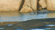Sea Lion Pups Playing in a Pool Stock Footage