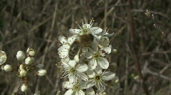 Bee visits Blackthorn blossom. Stock Footage