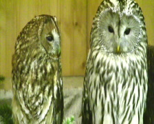 two owls - stock footage