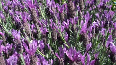 Lavender Stock Footage