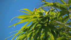 Bamboo leafs moving in gentle wind with blue sky in the background Stock Footage