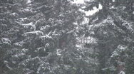 Stock Video Footage of Snow falling on big evergreens.