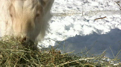 Goat eating hay Stock Footage