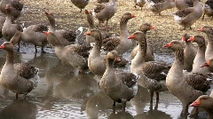 Grey geese cackling  Stock Footage