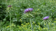 Holy thistle, Silybum marianum flower Stock Footage
