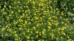 Hoary Mustard, Hirschfeldia incana Stock Footage