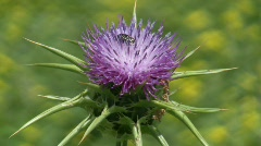 Holy thistle, Silybum marianum flower and beetle Stock Footage