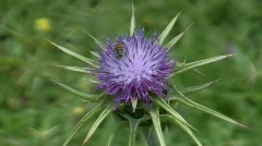 Holy thistle, Silybum marianum flower and bees Stock Footage