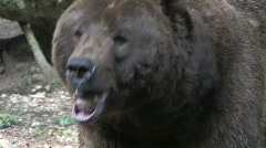 Grizzly Bear Close Up 1 Stock Footage