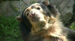 Closeup of Spectacled Bear is lazily laying around Stock Footage