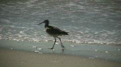 Black-necked Stilt casually walks on sunny beach (High Definition) Stock Footage