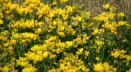 Some birdsfoot trefoil wildflowers are absorbing the sunlight (High Definition) Stock Footage