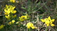 Stock Video Footage of Some birdsfoot trefoil wildflowers are absorbing the sunlight (High Definition)